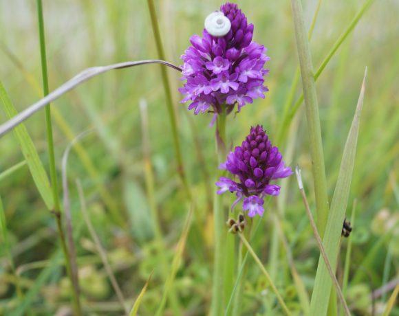 Belle éclosion d'orchidées sauvages au Vivier-sur-Mer